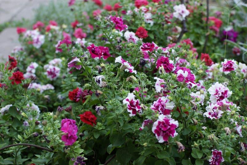 wiosna kwiatu zieleni ulistnienia jaskrawej ogrodowej natury piękna tła bielu soczyste menchie zdjęcia stock
