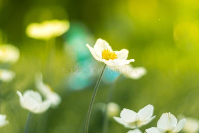 Wiosna kwiaty anemon na pięknym tle w świetle słonecznym Miękka część, selekcyjna ostrość zdjęcia royalty free