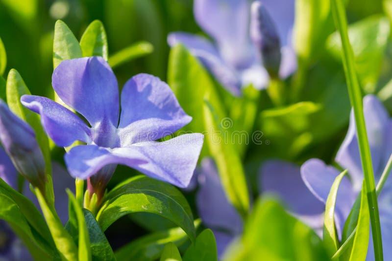 Wiosna kwiaty barwinek zdjęcie royalty free