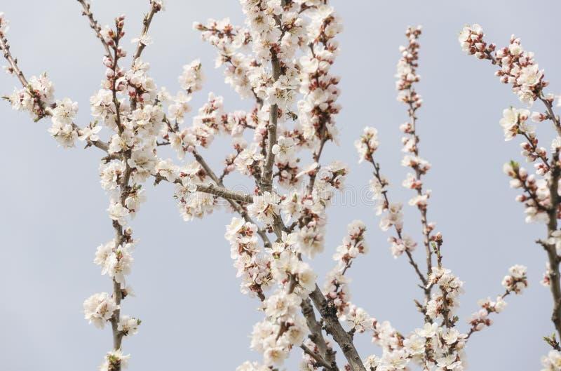 Wiosna kwiaty drzewo przeciw niebu obrazy stock
