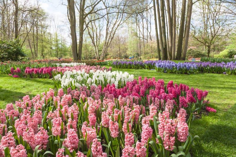 Wiosna kwiaty w holenderskiej wiośnie uprawiają ogródek Keukenhof (Lisse, holandie) obraz stock