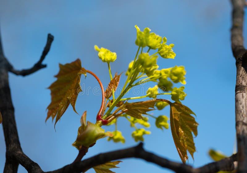 Wiosna Kwitnący drzewo pączek Liście zamykają up obrazy royalty free