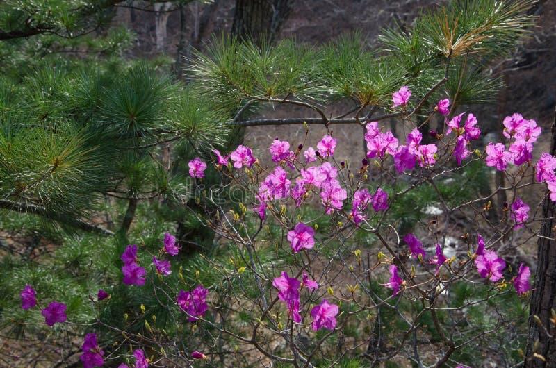 Wiosna kwitnący różanecznik przy zielona Koreańska sosna zdjęcia stock