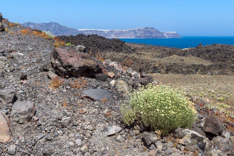 Wiosna kwitnie blisko wulkanu w Nea Kameni wyspie blisko Santorini, Grecja obraz stock