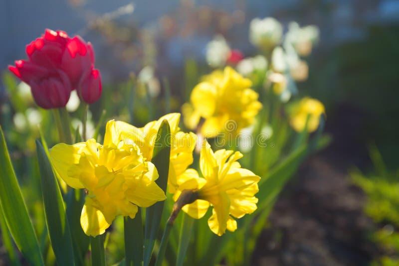 Wiosna kwitnie daffodils i tulipany kwitnie w ogródzie na flo zdjęcie royalty free