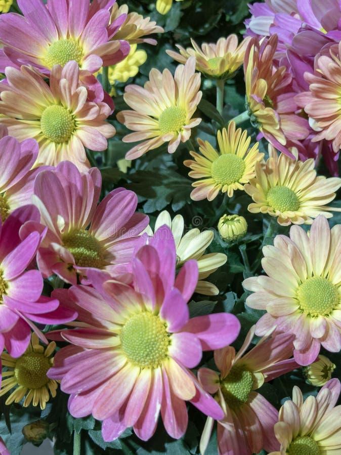 Wiosna kwitnie dla wielkanocy lub prezenta dla kobiety która no lubi róże pojęcia tła energii obraz zdjęcie royalty free