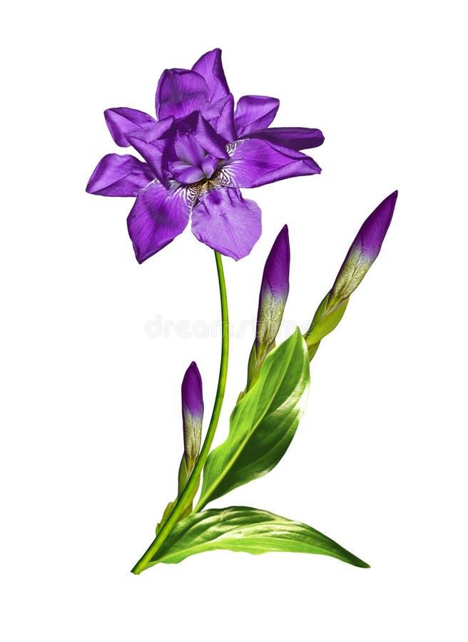 Wiosna kwitnie irysa; odizolowywający na białym tle fotografia royalty free