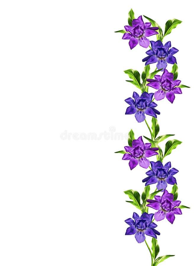 Wiosna kwitnie irysa; odizolowywający na białym tle obraz royalty free