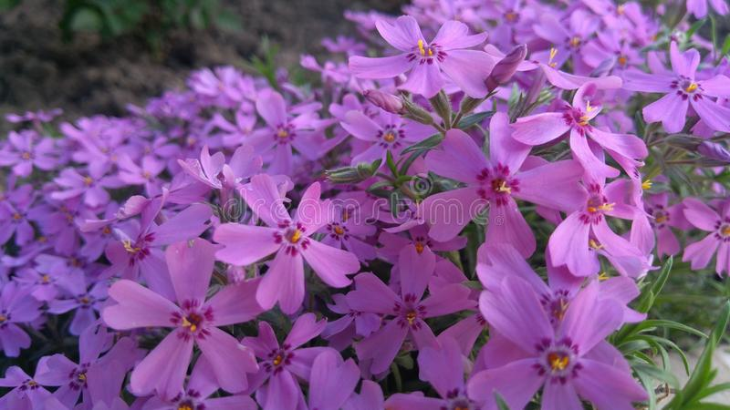 Wiosna kwitnie, piękny kwiecisty tło purpury obrazy royalty free