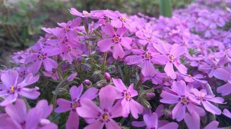 Wiosna kwitnie, piękny kwiecisty tło purpury obraz stock