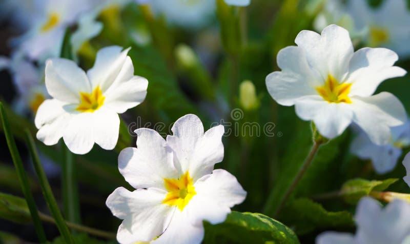 Wiosna kwitnie powabnego białego wieczór pierwiosnku zdjęcie royalty free