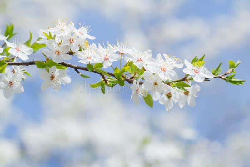 Wiosna kwitnie Sakura tło biel i menchie kwitnie fotografia stock