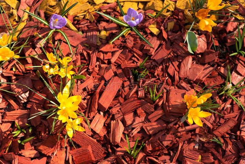 Wiosna kwitnie w flowerbed w ogródzie otaczających dekoracyjnym czerwonym drewnianym trociny parku lub obrazy royalty free