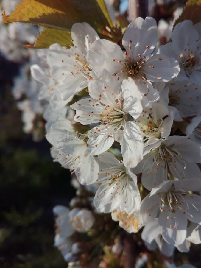 Wiosna kwitnie wiśni fotografia stock