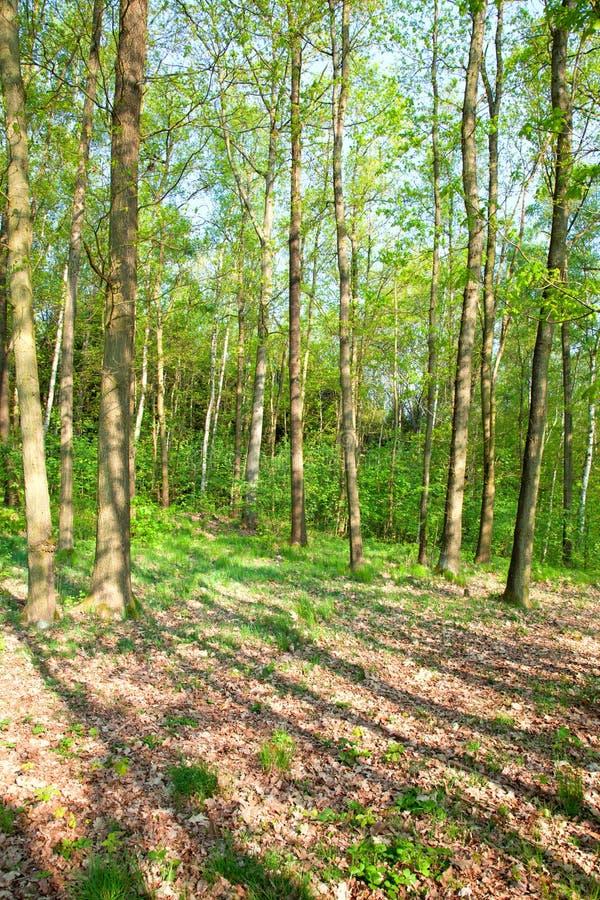 wiosna lasowy czas obraz royalty free