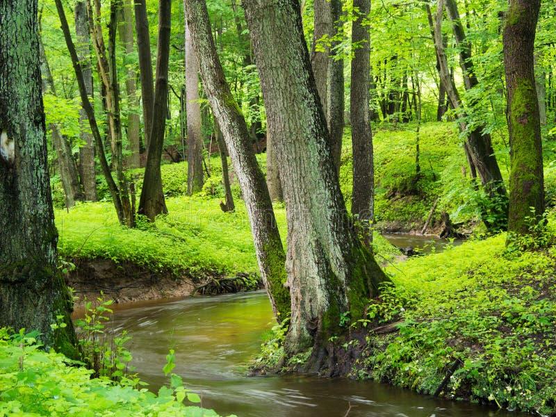 Wiosna lasu scena zdjęcie royalty free