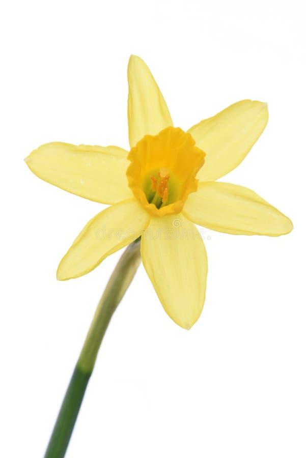 Wiosna narcyza kwiecisty świeży kwiat obraz royalty free