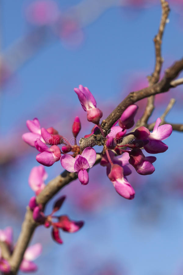 Wiosna - Nowy przyrost i kwiaty na Redbud drzewie fotografia stock