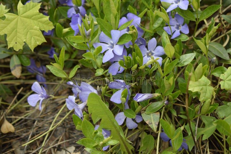 Wiosna odwiecznie carpeted kwiaty, barwinek z delikatnymi b??kit?w kwiatami wewn?trz i t?o, pi?kny li?ci, zielonego i kwiecistego zdjęcie royalty free