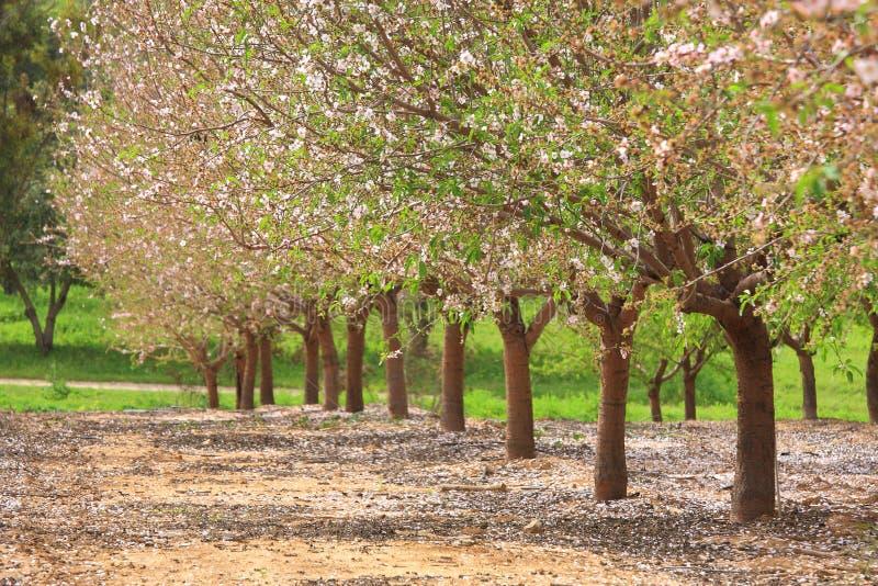 wiosna ogrodowi drzewa zdjęcie royalty free