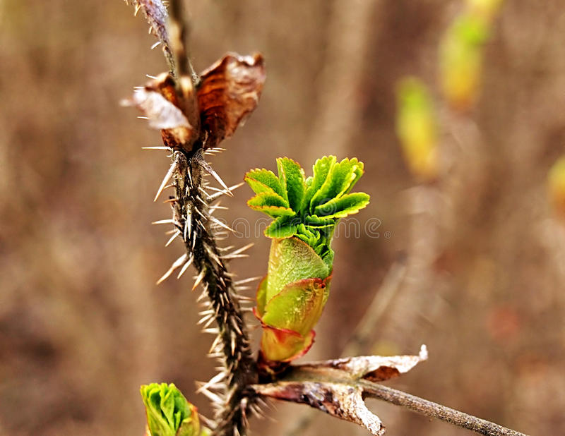 Wiosna pączkuje zdjęcia stock