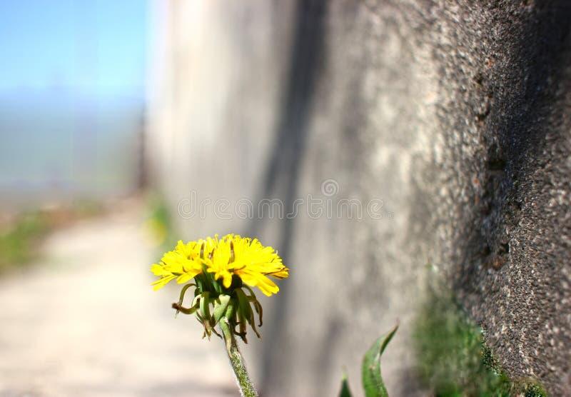 Wiosna, płatek, żółty kwiat na kamiennej ścianie, obraz stock
