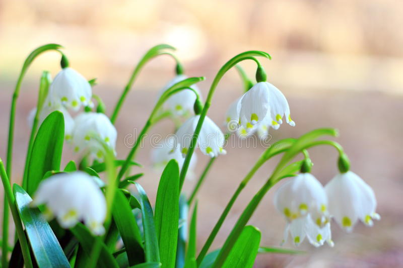 Wiosna płatki śniegu obrazy stock
