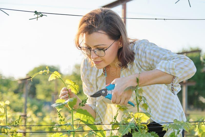 Wiosna plenerowy portret pracuje w winnicy dojrzała kobieta, kobieta z pruner tworzy gronowych krzaki zdjęcie royalty free
