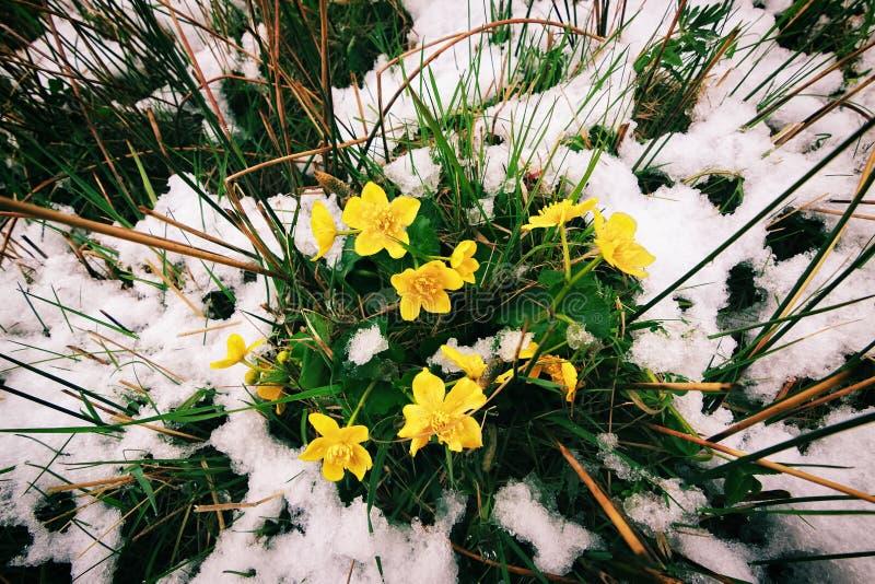 Wiosna przychodzi. Koloru żółtego śnieg i kwiaty. fotografia royalty free