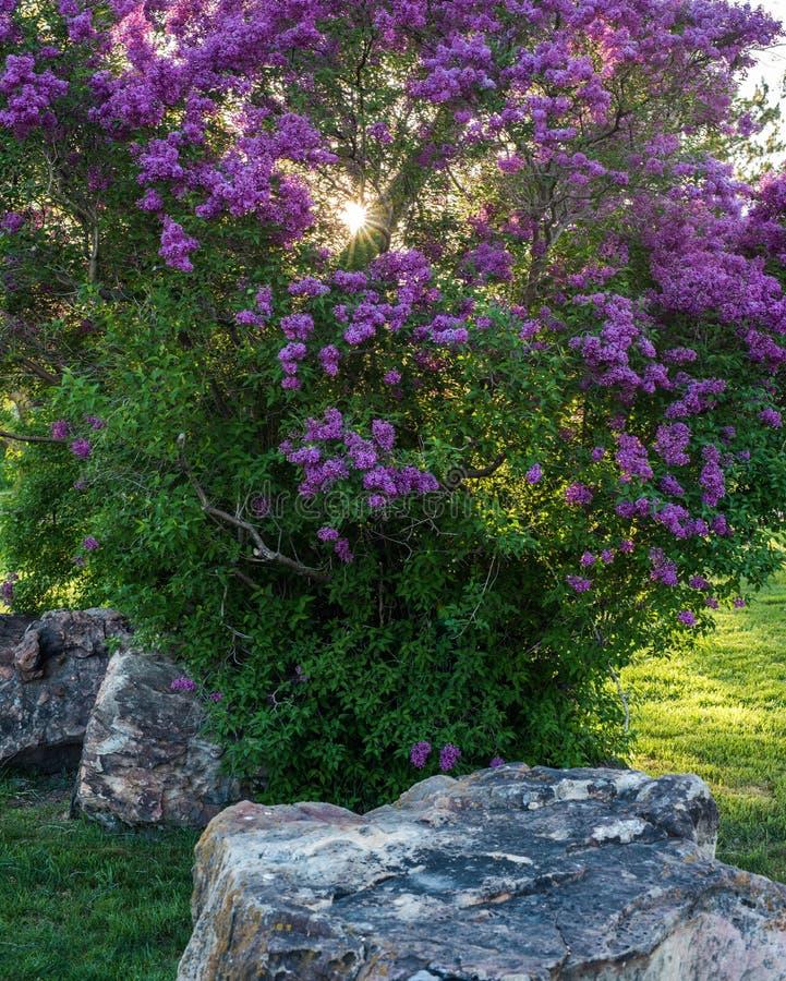 Wiosna Purpurowy Lily Bush w kwiacie zdjęcie stock