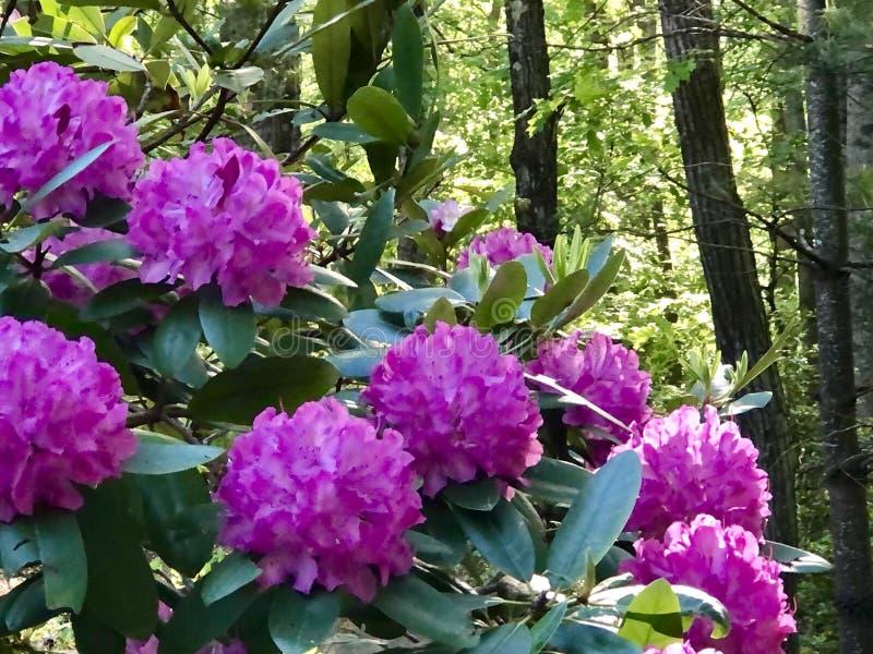 Wiosna różaneczniki zdjęcia royalty free