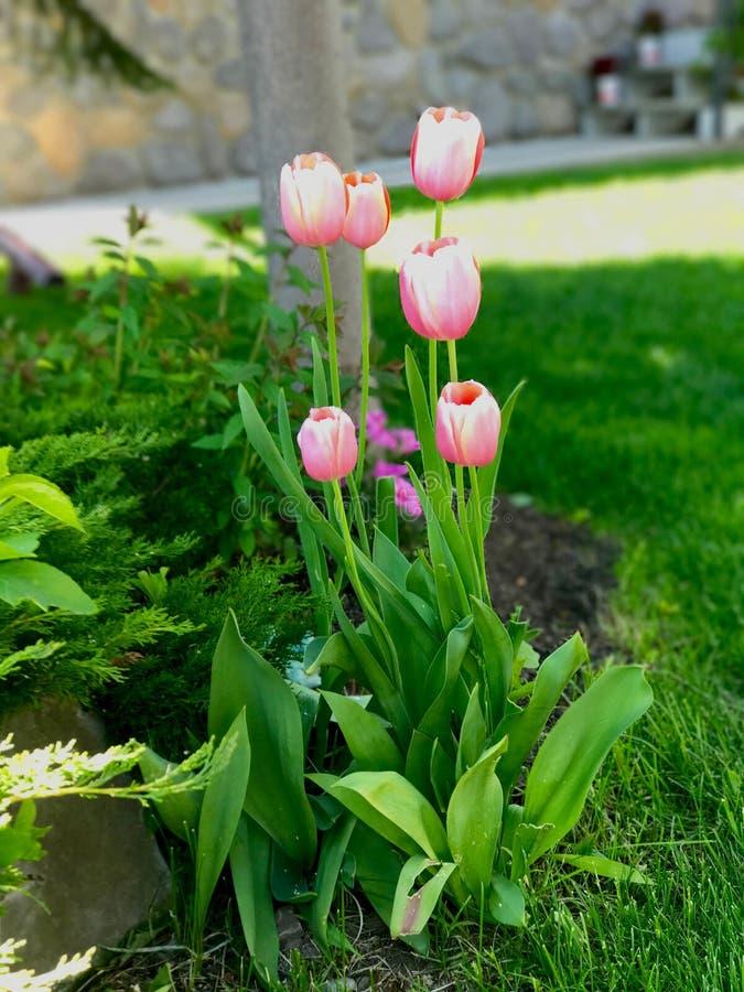 Wiosna Różowi tulipany obrazy stock