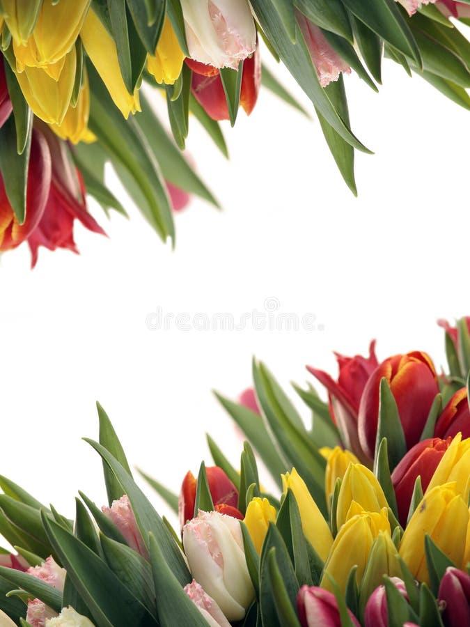 wiosna ramowy tulipan zdjęcia stock
