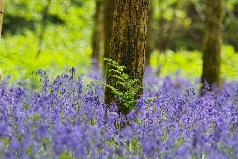 Wiosna skakał w Bluebell drewnie zdjęcie stock