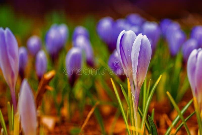 Wiosna sztandar, młodzi świezi krótkopędy kwitnie z nieotwartymi pączkami na otwartej przestrzeni, miękka ostrość, delikatny świa obrazy stock