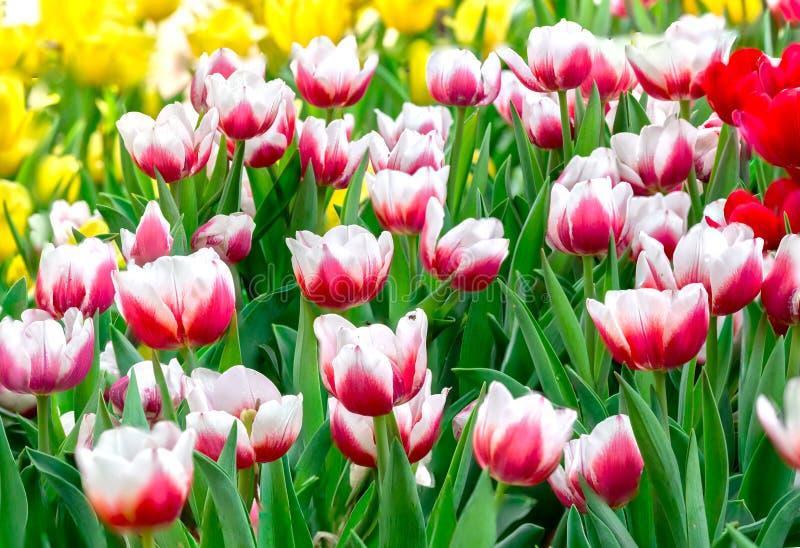 Wiosna tulipanów ogród zdjęcie royalty free