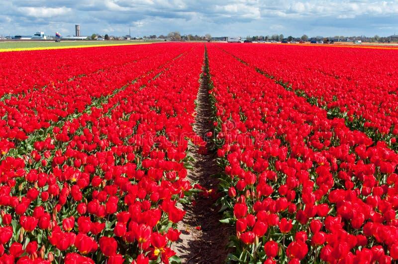 Wiosna tulipanu czerwony pole obraz royalty free