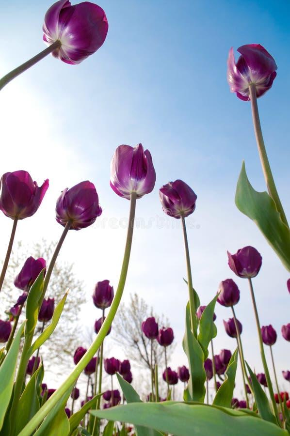 Wiosna tulipanu kwiaty obrazy royalty free