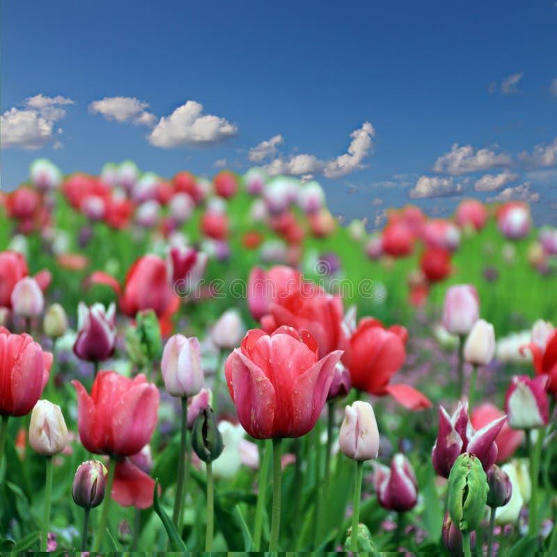 Wiosna tulipanu kwiaty zdjęcie royalty free