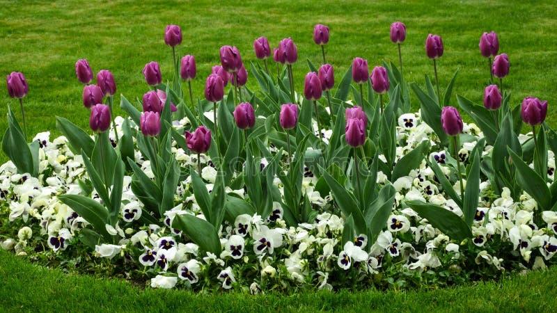 Wiosna tulipanu kwiaty zdjęcie stock