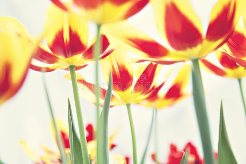 Wiosna tulipanu pole obraz stock