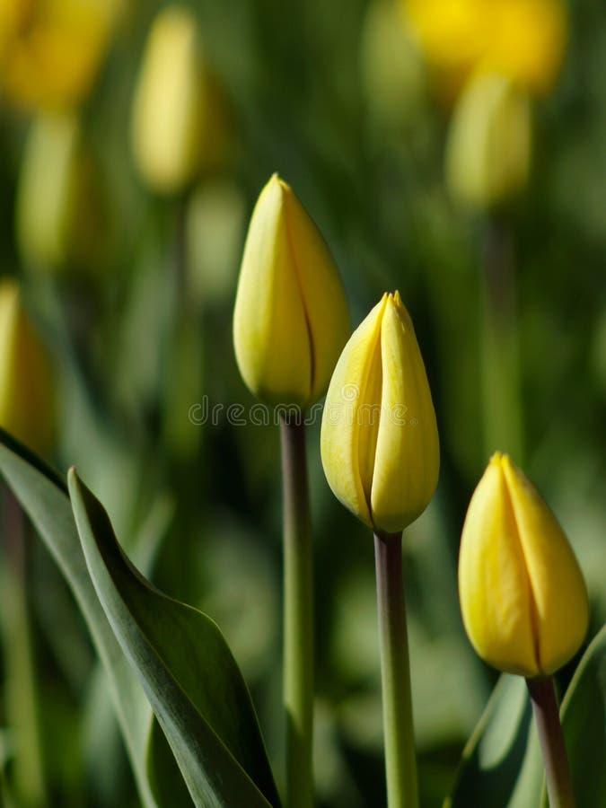 Download Wiosna tulipany zdjęcie stock. Obraz złożonej z sezonowy - 13337744