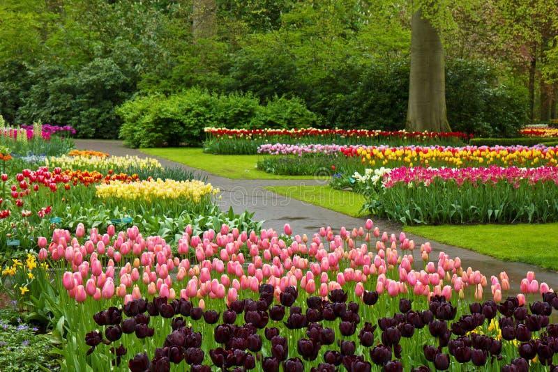 Wiosna tulipany Keukenhof obraz royalty free
