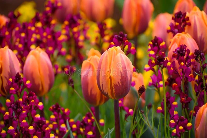 Wiosna tulipany Pomarańczowi i Purpurowi zdjęcie royalty free