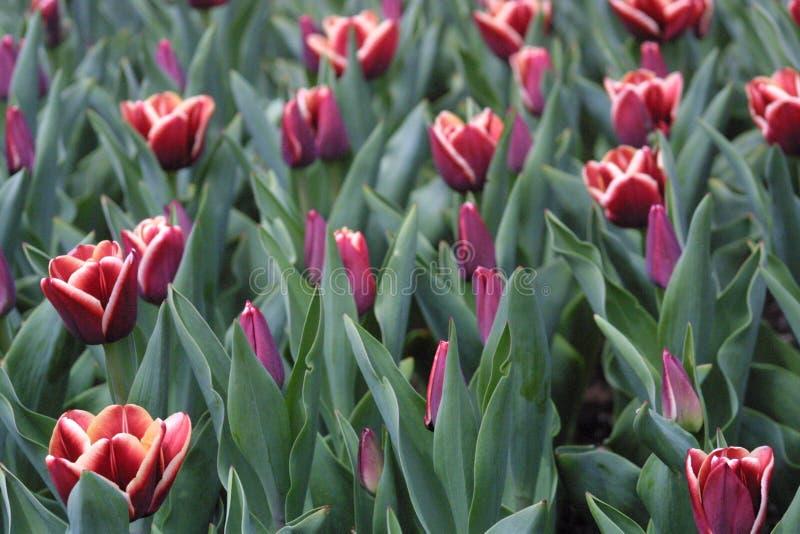 Wiosna w kwiacie 2019 III zdjęcia royalty free