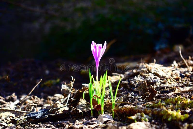 Wiosna W mój ogródzie kwitnącym pierwszy kwiat fotografia royalty free