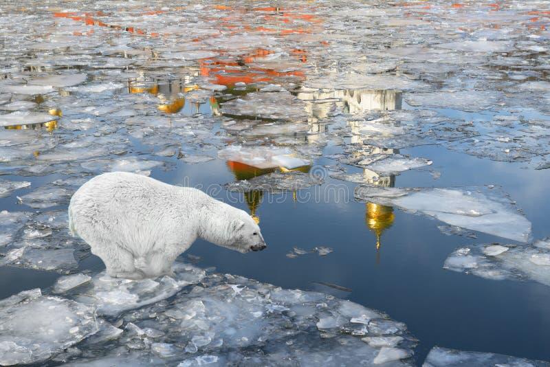 Wiosna w Moskwa. Niedźwiedź polarny unosi się na lodowym floe obrazy royalty free