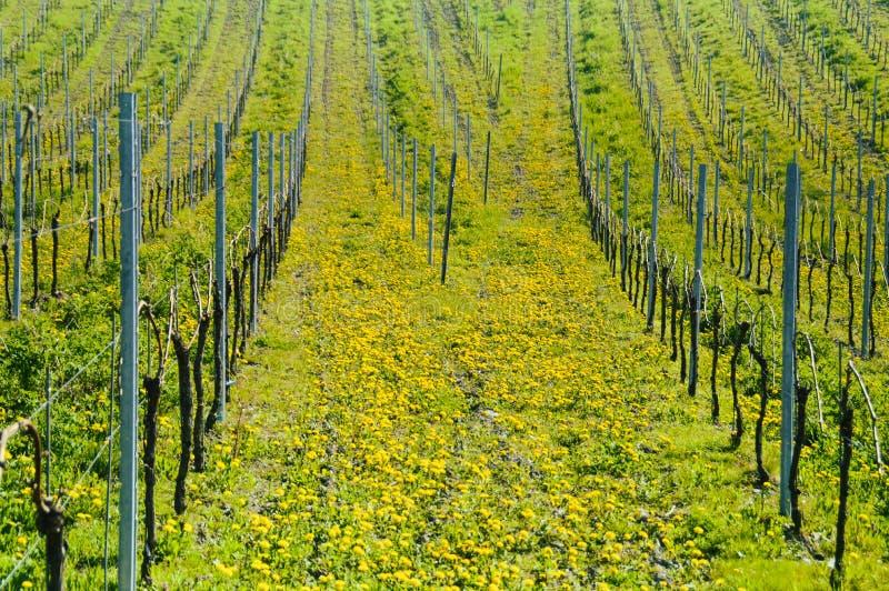 Wiosna w winnicach obrazy stock