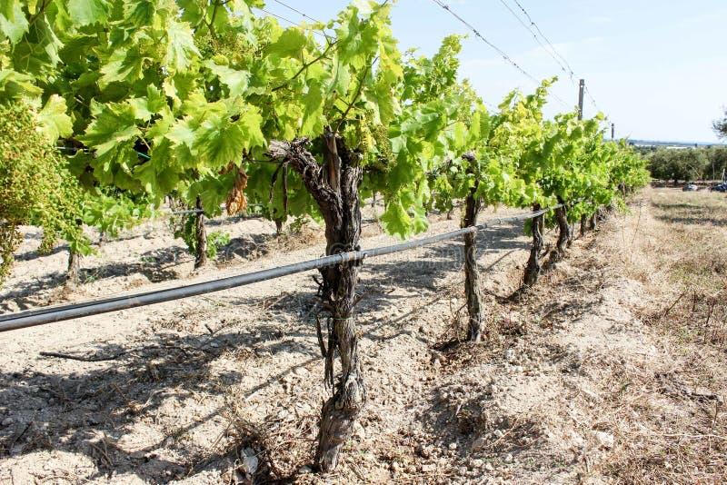 Wiosna w winnicy, Sicily fotografia stock