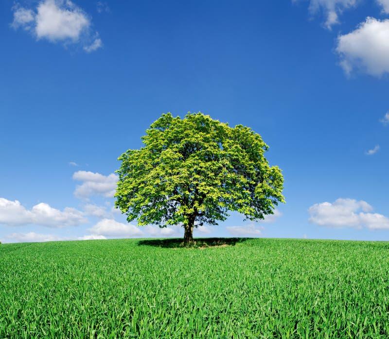 Wiosna widok, osamotniony drzewo wśród zielonych poly obraz stock